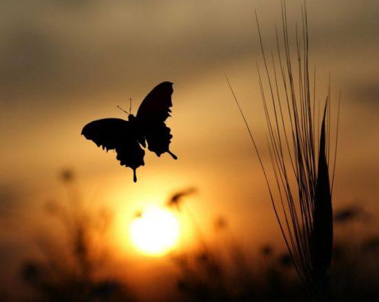 mariposa-ocaso
